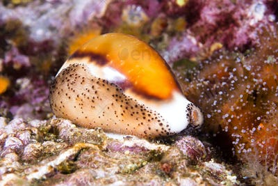 Cowry snail