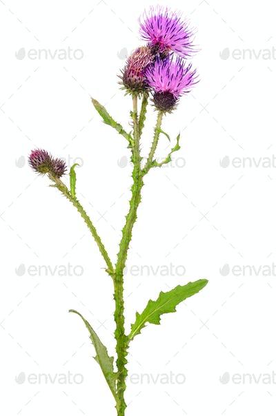 Onopordum acanthium flower