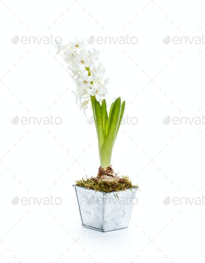 Beautiful white hyacinth