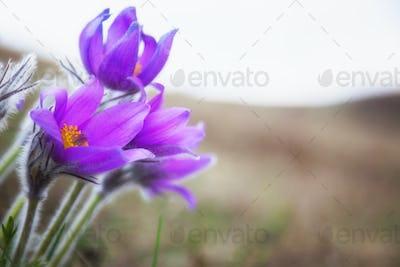Purple flowers, dream herb