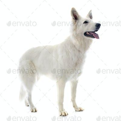 Swiss shepherd
