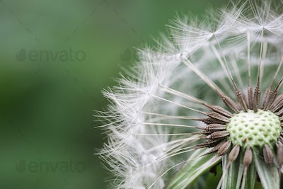 beautiful dandelion closeup