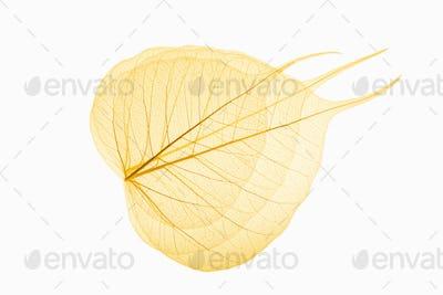 three bodhi leaves vein