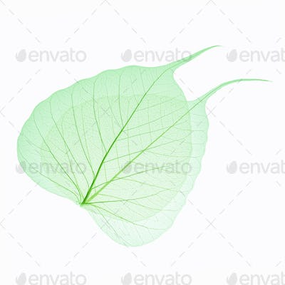 two green leaves vein isolated