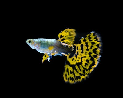 yellow guppy  fish swimming isolated on black