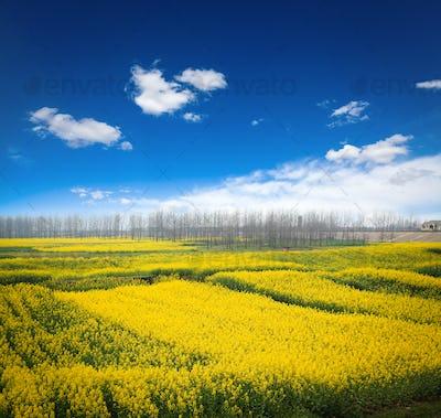 rapeseed field against a blue sky