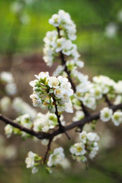 plum tree flower in spring
