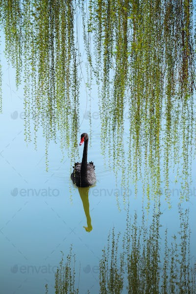 willow branches and black swan