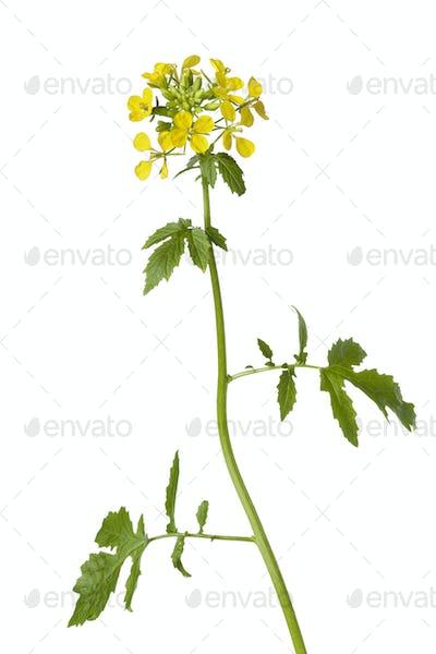 White mustard plant