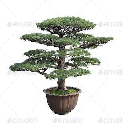 big bonsai pine