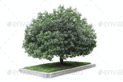 bayberry tree