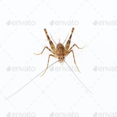 cricket spider