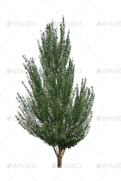 cathay poplar isolated