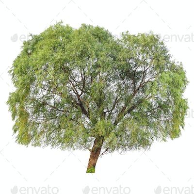 a big poplar tree isolated