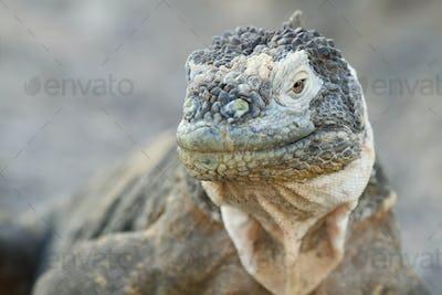 Wild land iguana