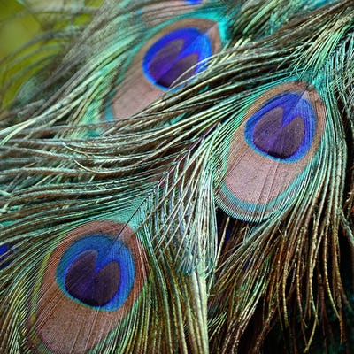 male Green Peafowl feathers