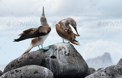 Pair of Blue-footed Booby (Sula nebouxii)
