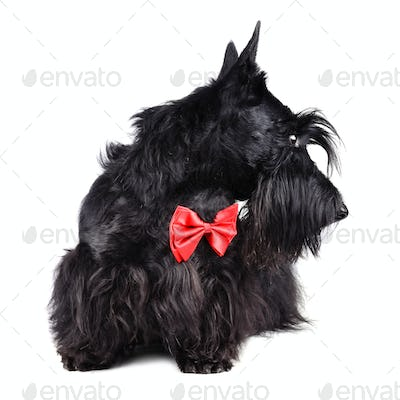 Dog in red tie
