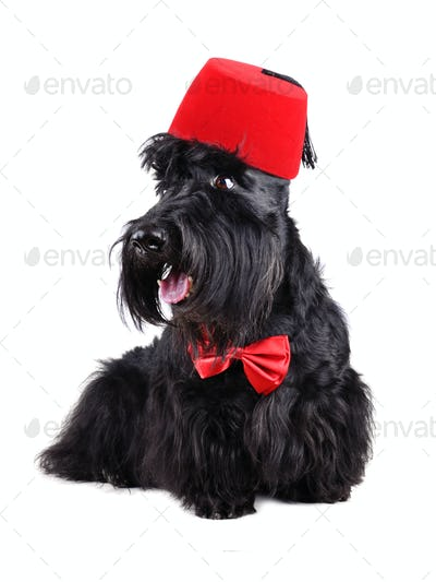 Dog dressed-up in bow tie and fez