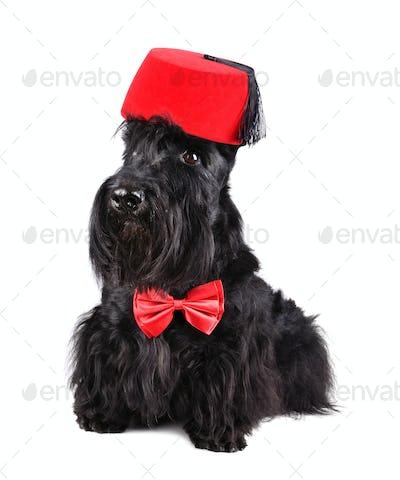 Black dog in fez