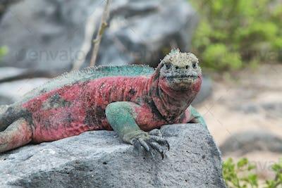 Galapagos Marine Iguana resting on rocks