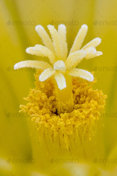 Thelocactus setispinus, Hedgehog cactus