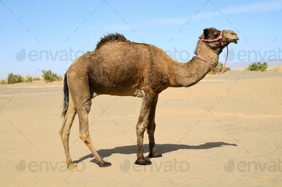 Camel in pink bridle