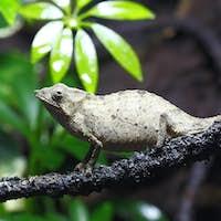 Pygmy Leaf Chameleon