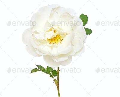 White wild rose flower
