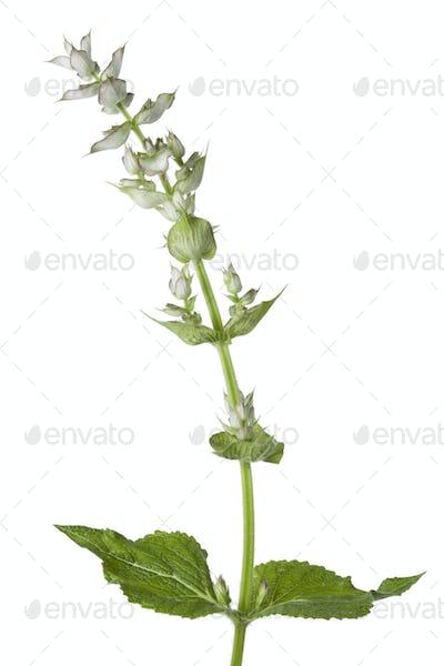 Fresh Salvia sclarea