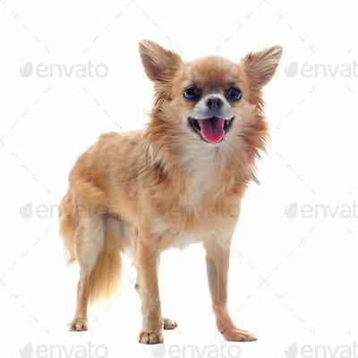 brown chihuahua