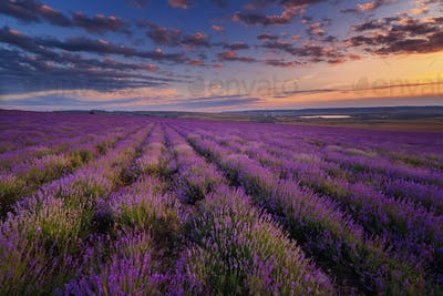 Lavender field on sunset