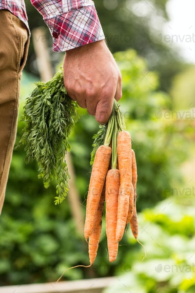 Man holding bunch of organic carrots close up in the garden